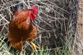 Proud Red Rooster Standing Tal...