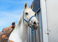Proud rodeo horse Royalty Free Stock Photo