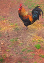 Proud rooster a closeup of a colorful red and black with a large red comb wattles and earlobes standing in a field shallow depth Stock Image