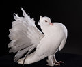 Proud white pigeon on a black background Stock Image