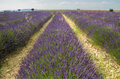 Provence, blossoming purple lavender field at Valensole France Royalty Free Stock Photo
