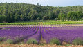Provence - Lavender fields and vines in the background Royalty Free Stock Photo