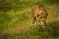 Prowling cheetah a through an open field in africa Royalty Free Stock Photos