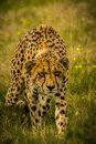 Prowling cheetah a through an open field in africa Royalty Free Stock Photography