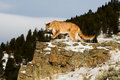 Prowling cougar in fresh winter snow on rocky ledge Royalty Free Stock Photography