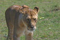 Prowling lioness proud prowls the african plain Royalty Free Stock Image