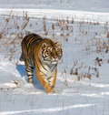 Prowling Siberian Tiger Royalty Free Stock Photo