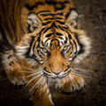 Prowling tiger majestic looking at camera Royalty Free Stock Photos