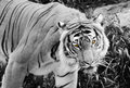 Yellow Eyed Tiger Royalty Free Stock Photo