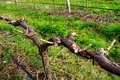 Pruned Grape Vine Royalty Free Stock Images