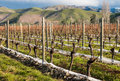 Pruned grapevine in vineyard late autumn Stock Photography