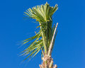 Pruned palm tree against blue sky Stock Image