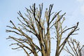Pruned tree in winter for next season Royalty Free Stock Images
