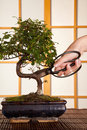 Pruning a bonsai tree Royalty Free Stock Images