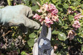 Pruning Drift Roses Royalty Free Stock Photo