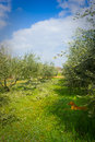 Pruning the olive grove Royalty Free Stock Photo
