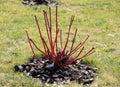 Pruning plants before hibernation Royalty Free Stock Image