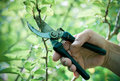 Pruning of  trees with secateurs Royalty Free Stock Photography