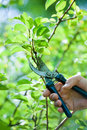 Pruning of  trees with secateurs Stock Images