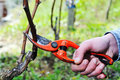 Pruning of the vineyards Royalty Free Stock Photo