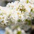 Prunus avium Flowering cherry