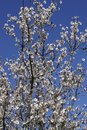 Prunus dulcis, flowering nonpareil almond tree bra Royalty Free Stock Photography