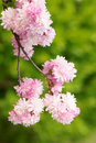 Prunus glandulosa flowers Stock Photos