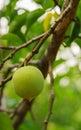 Prunus Mume.