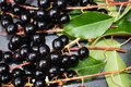 Prunus padus red ripe cherry berries Royalty Free Stock Photo