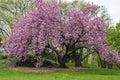 Prunus Serrulata 'Kanzan' - Ja...