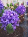 Pruple hyacinthus beautiful flowers Stock Photos