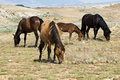 Pryor Mountain mustangs Royalty Free Stock Photo