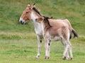 Przewalski Horse (Equus ferus przewalskii) Royalty Free Stock Photo