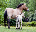 Przewalski Horse Mother and Foal Stock Photography