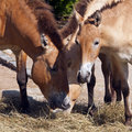 Przewalski s horse a closeup of a small herd of horses Royalty Free Stock Photos
