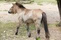 Przewalski`s horse Equus ferus przewalskii Royalty Free Stock Photo
