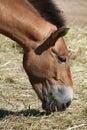 Przewalski's horse (Equus ferus przewalskii). Royalty Free Stock Photo