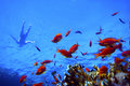 Pseudanthias squamipinnis and swimming man Royalty Free Stock Images