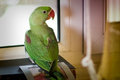 Psittacula eupatria parrot green standing on the table Stock Image