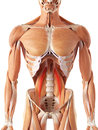 The psoas minor medically accurate illustration of Stock Photo