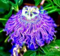 Psychedelic, Illuminated Purple Passion Flower