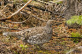 Ptarmigan in the wildness colorado springtime Royalty Free Stock Images