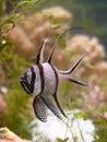 Pterapogon kauderni Royalty Free Stock Images
