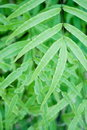 Pteris fern Stock Photos