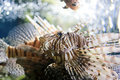 Pterois or lionfish Royalty Free Stock Photo
