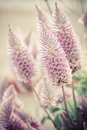 Ptilotus exaltatus (Joey) flower Royalty Free Stock Photo