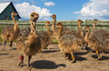 Ptintsy ostrich farm. Royalty Free Stock Image