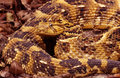 Puff adder closeup portrait of a Stock Photo