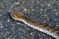 Puff Adder (South Africa) Royalty Free Stock Image