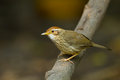 Puff throated babbler pellorneum ruficeps on the branch in nature Stock Photography